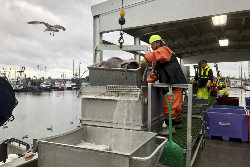 A worker prepares to dump a bucket of fish onto a conveyor belt for sorting this month after the fish were unloaded from a bottom trawler containing rockfish and other groundfish species in Warrenton, Ore.
