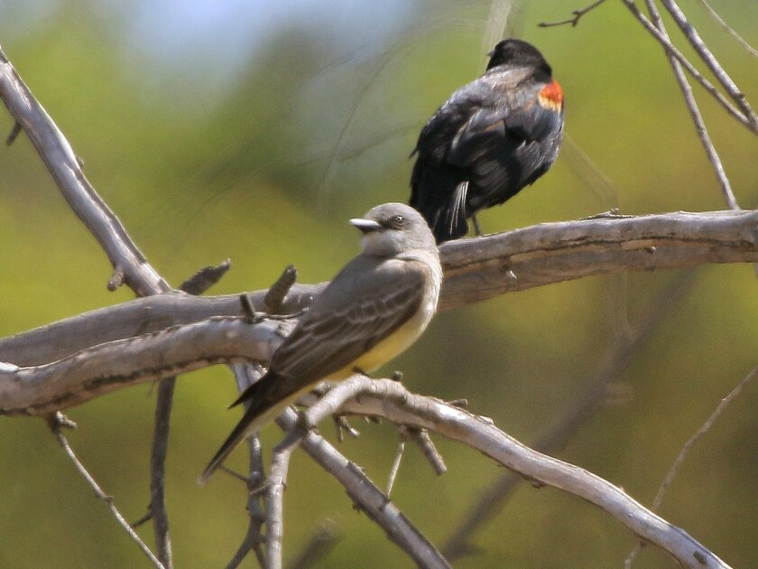 March 31, 2015_Rancho Santa Fe, California_USA An endangered Southwest Willow Flycatcher sits on a branch along the San Dieguito River near Del Dios Highway. At right is a red-winged Blackbird. Non-native plants have been removed from this area to help endangered birds return.