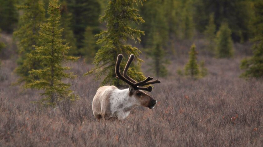 A lone caribou forages in Alaska's Denali National Park.
