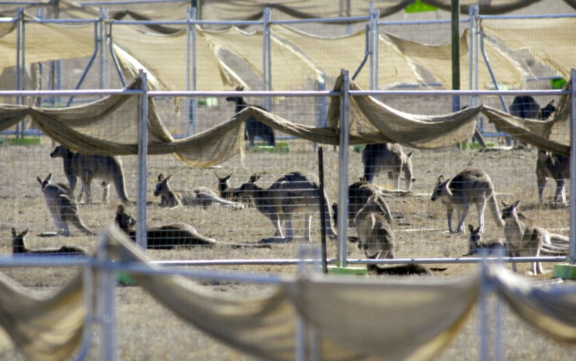 In this May 20, 2008, file photo, kangaroos are corralled in a pen before they are culled at a abandoned Department of Defense property near Canberra, Australia.