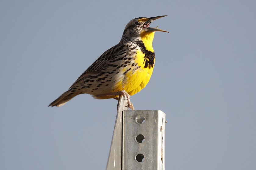 FILE - This April 14, 2019 file photo shows a western meadowlark in the Rocky Mountain Arsenal National Wildlife Refuge in Commerce City, Colo. According to a study released on Thursday, Sept. 19, 2019, North America's skies are lonelier and quieter as nearly 3 billion fewer wild birds soar in the air than in 1970. Some of the most common and recognizable birds are taking the biggest hits, even though they are not near disappearing yet. The population of eastern meadowlarks has shriveled by more than three-quarters with the western meadowlark nearly as hard hit. (AP Photo/David Zalubowski, File)