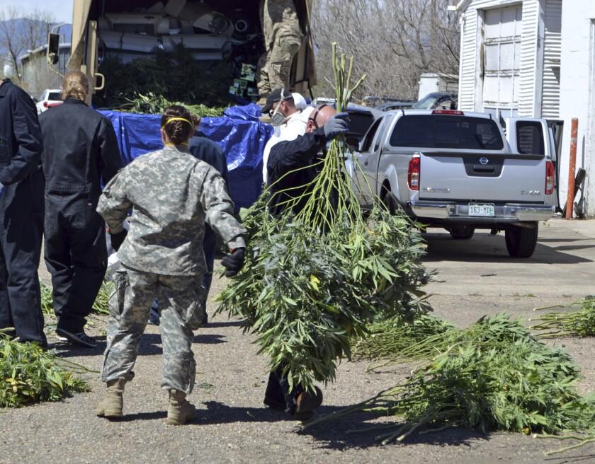 ARCHIVO - En esta fotografía de archivo del 14 de abril de 2016, investigadores trasladan plantas de marihuana a un camión de la Guardia Nacional afuera de un cultivo ilegal en el norte de Denver. (AP Foto/P. Solomon Banda, archivo)