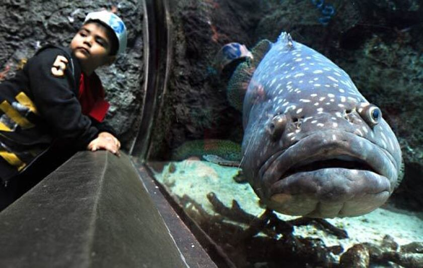 A Queensland grouper in a tank goes by a youngster at the Aquarium of the Pacific, where a field trip will be offered by the Joslyn Adult Center early next month.