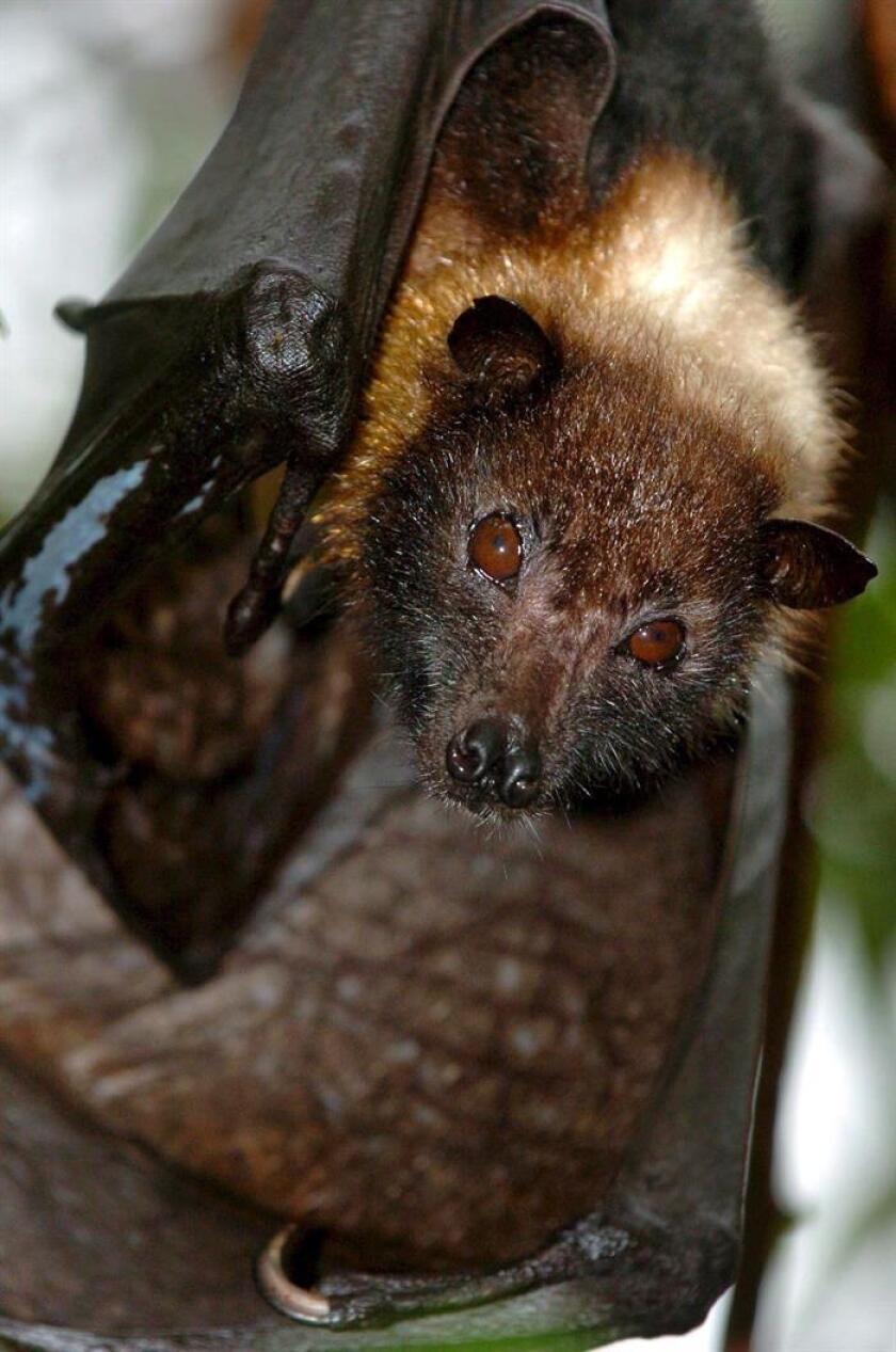 Científicos mexicanos identificaron siete cuevas de murciélagos en México calificadas como prioritarias, cuya protección es fundamental para la subsistencia de estos animales y para garantizar los beneficios que brindan, aseguró hoy la Comisión Nacional de Áreas Naturales Protegidas (Conanp). EFE/ARCHIVO/PROHIBIDO SU USO EN HUNGRÍA