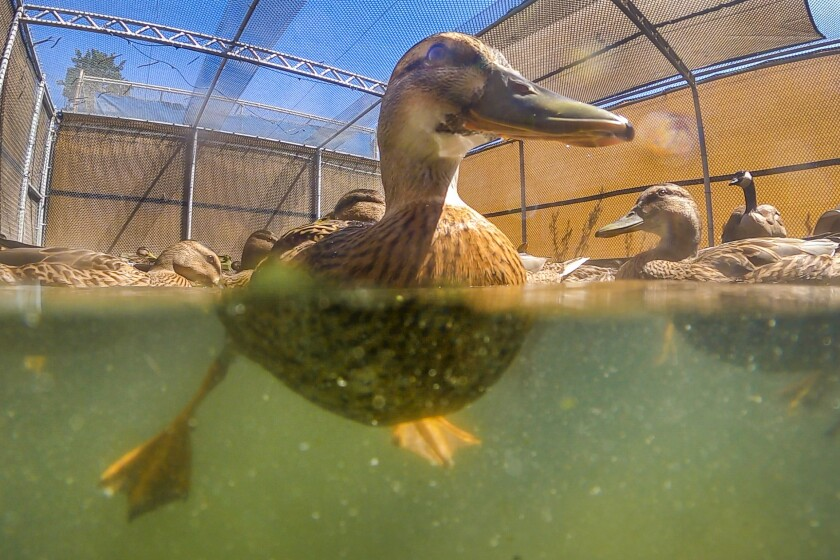 """HUNTINGTON BEACH, CA - May 04: A variety of ducks, including some of the nearly 900 baby ducklings swim after """"a tsunami of orphans came in,"""" according to Debbie McGuire, board member and executive director, at The Wetlands and Wildlife Care Center in Huntington Beach Tuesday, May 4, 2021. On Monday, the center asked for the public's assistance to help provide food for hundreds of orphaned mallard ducklings that are currently in the facility's care and received a lot of donations from the public. McGuire explained the organization is the only one in all of Orange County that rescues orphaned ducklings - hence the high number. (Allen J. Schaben / Los Angeles Times)"""