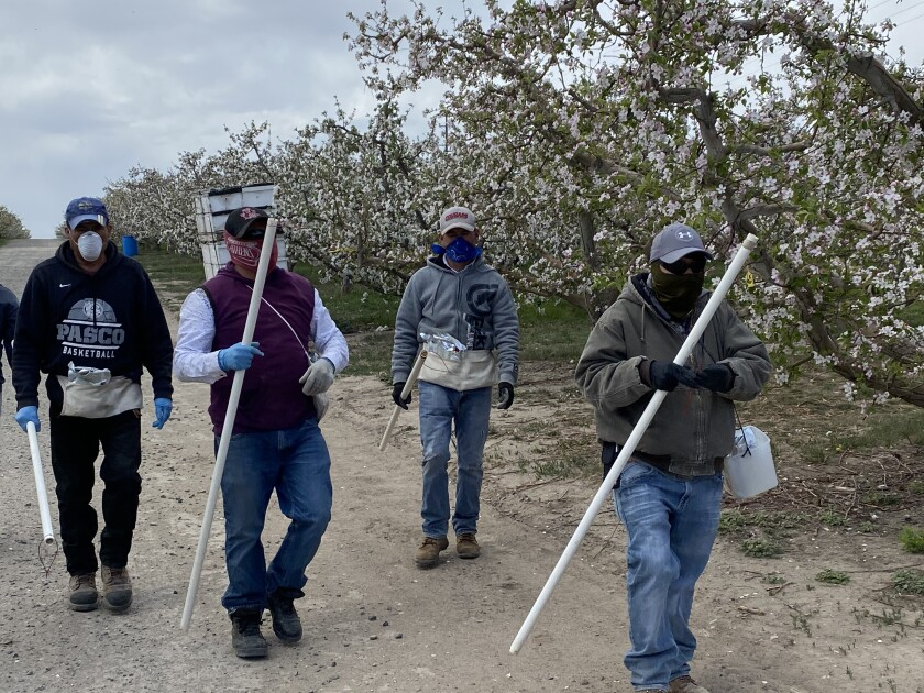 Farmworkers in an apple orchard in Washington, where growers will be allowed to house migrant laborers in bunk beds if they stay in small groups to deter the spread of the novel coronavirus.