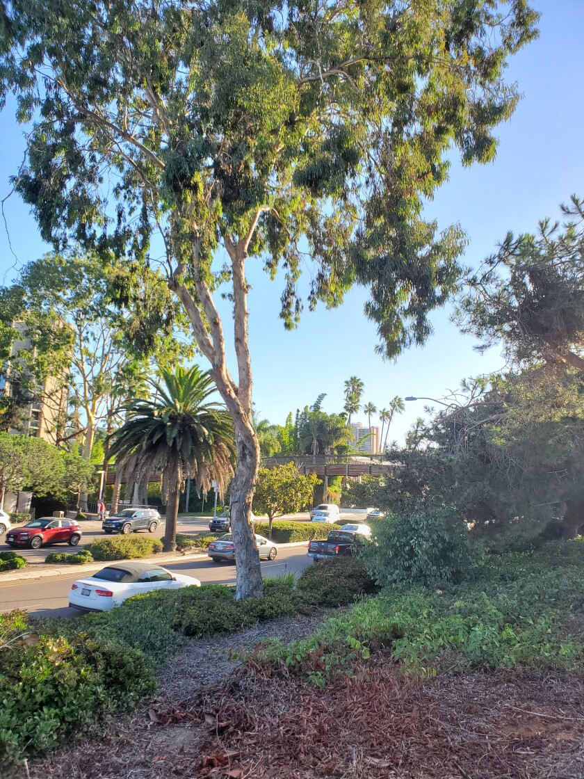 A eucalyptus tree was removed from this location along Torrey Pines Road, leaving one eucalyptus onsite.