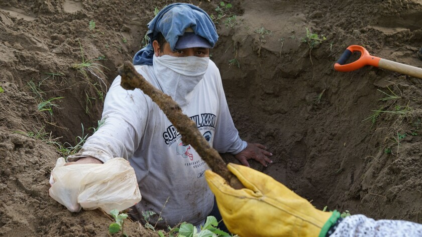 Rufino Bustamante Rosique moments after handing what appears to be a human bone to fellow volunteers looking for secret graves in Veracruz, Mexico.