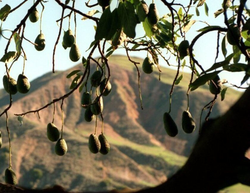 Help for avocado trees: How to boost health and improve