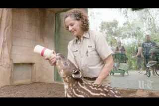 San Diego Zoo welcomes first endangered Baird's Tapir in 30 years
