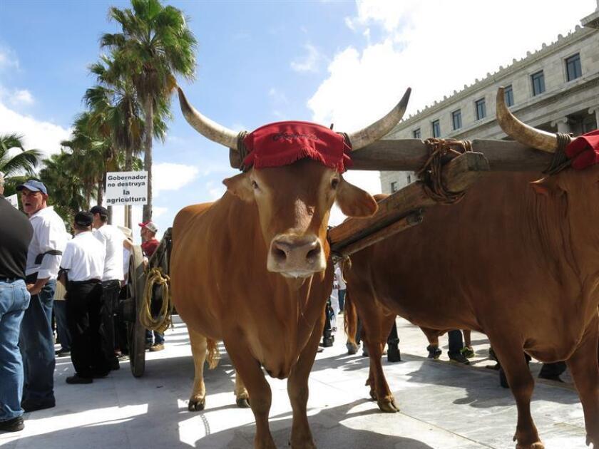 Acompañados de vacas y terneras y frente al Capitolio de Puerto Rico, sede del Legislativo local, los ganaderos protestaron por la caída de los márgenes de beneficio en el sector lácteo. EFE/Archivo