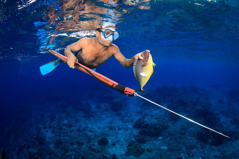 The study found input from local fishermen on managing reefs helps keep them healthy. Here, a man uses a handmade spear to hunt sleek unicornfish.