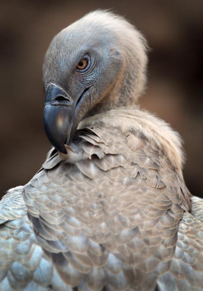 Un buitre del Cabo se atusa las plumas. EFE/Archivo