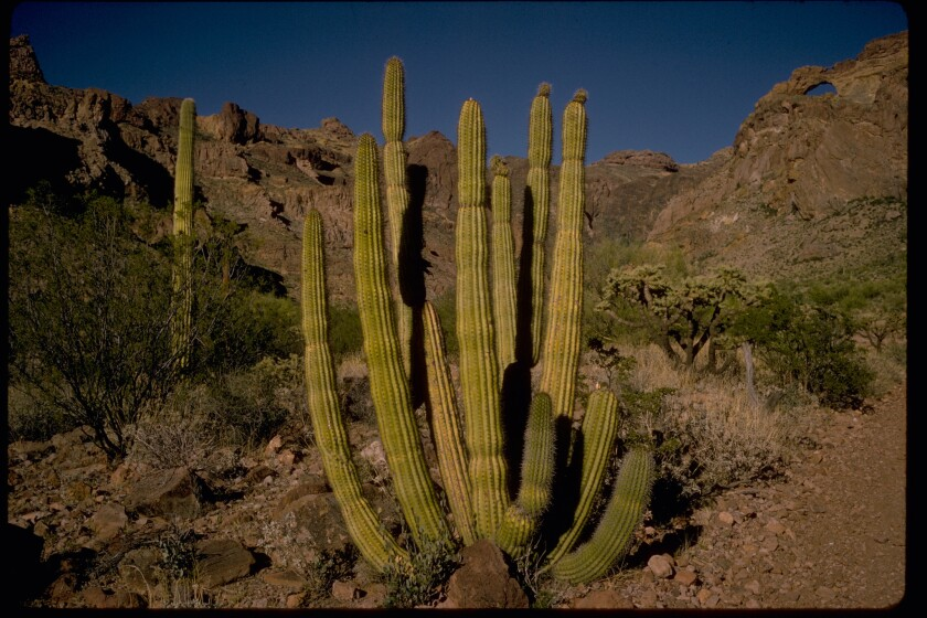 Organ Pipe Cactus National Monument is named for the long, thin cacti that dot Arizona's desert landscape.