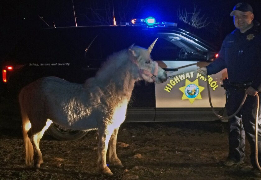 In this Wednesday, Feb. 24, 2016 photo provided by the California Highway Patrol, CHP officer Mark Cosentino with a horse with a fake unicorn horn in rural Madera Ranchos in Madera, Calif., after the horse got away from it's handler. Motorists had reported a unicorn running around on the roadway Wednesday. A not-so-mythical white pony named Juliette who wears a fake horn for photo sessions was illuminated by a CHP helicopter in an orchard and resident Renee Pardy used another horse to lead it out. It took more than 3 hours to get the suspect into custody. (Officer Justin Perry/CHP Madera via AP)