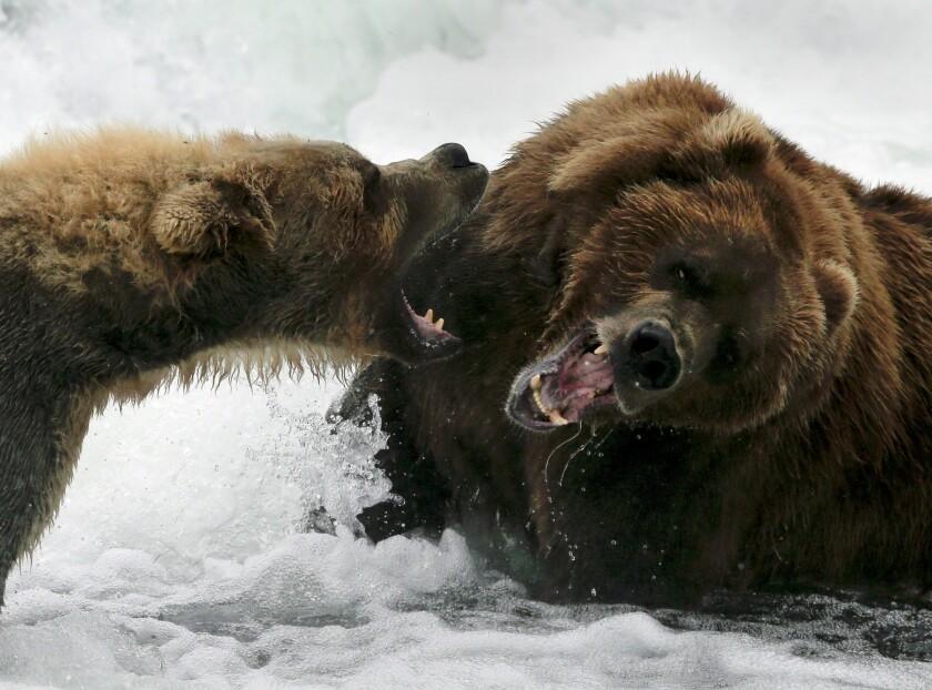 Battling bears