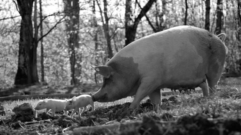 A sow follows her piglets