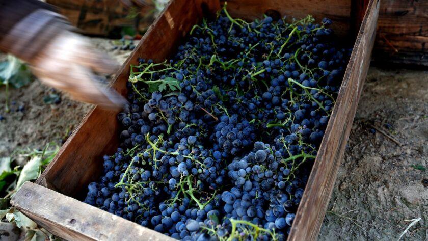MADERA, CALIF. -- FRIDAY, SEPTEMBER 9, 2016: Lourdes Cardenas, 53, picks grapes in a field in Madera