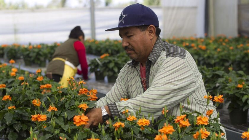 """Leonard Rodriguez, front, and Kristina Gallardo, rear, work with a crop of """"crosandra"""" plants inside one of the greenhouses at the Sunlet Nursery in Fallbrook."""