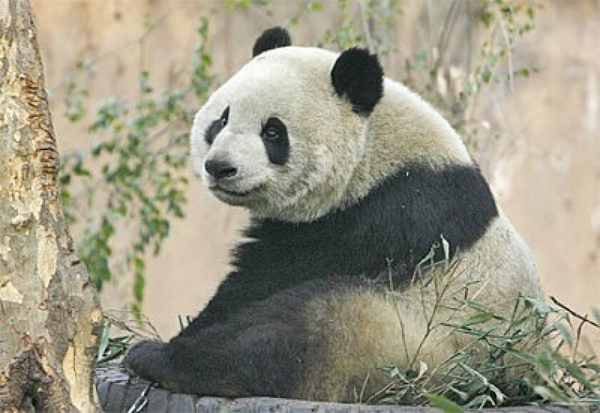 Jingjing, the 2008 Beijing Olympics mascot, played at the Chengdu Panda Breeding Research Center in  China last March. Chinese scientists have mapped the panda's genetic information. (Liu Jin / Getty Images)