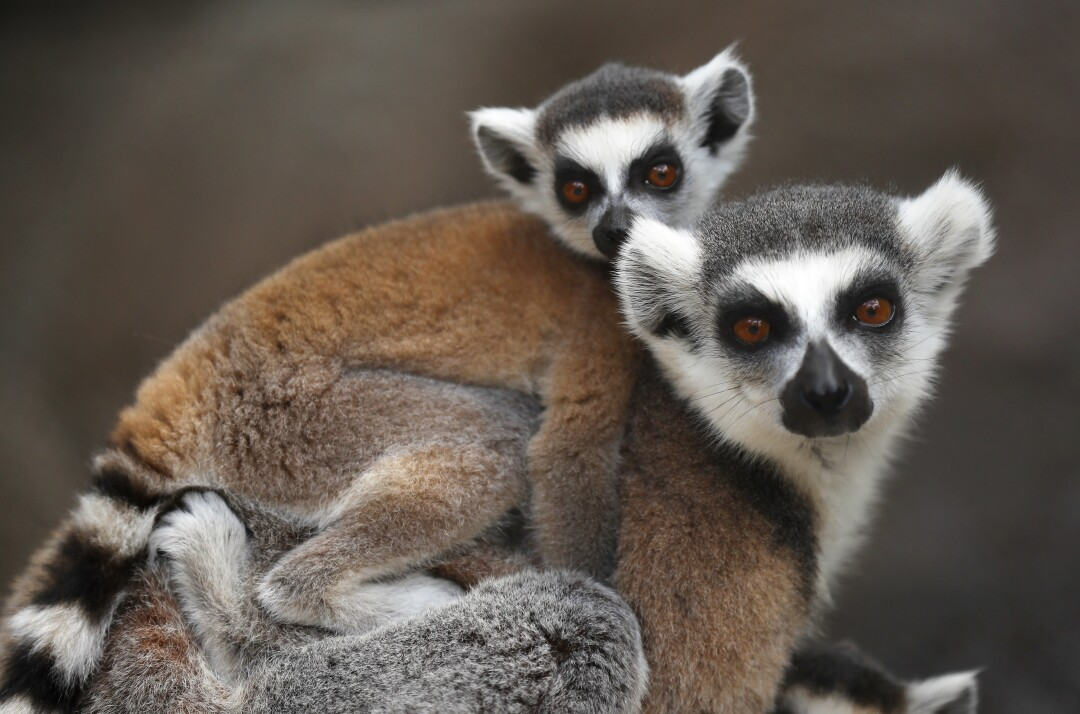 A ring-tailed Lemur carries a baby at the San Diego Zoo on May 19, 2020.