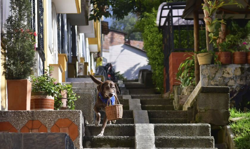 """Eros carries a basket of bread from the El Porvenir mini-market as he makes a delivery on his own in Medellin, Colombia, Tuesday, July 7, 2020. The eight-year-old chocolate Labrador remembers the names of customers who have previously rewarded him with treats, and with some practice, he has learned to go to their houses on his own. """"He helps us to maintain social distancing,"""" said Eros' owner Maria Natividad Botero, amid the COVID-19 pandemic. (AP Photo/Luis Benavides)"""