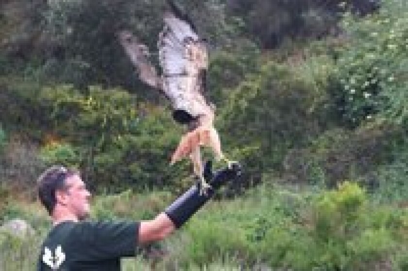 Project Wildlife volunteer Gavin McKellar releases a Red-tailed Hawk back into the wild.