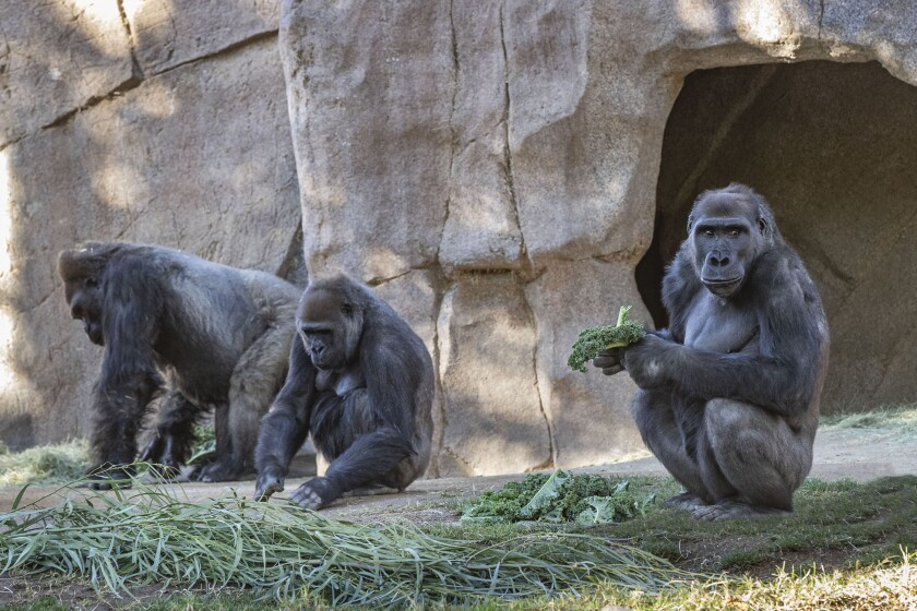 Gorilla Troop at the San Diego Zoo Safari Park