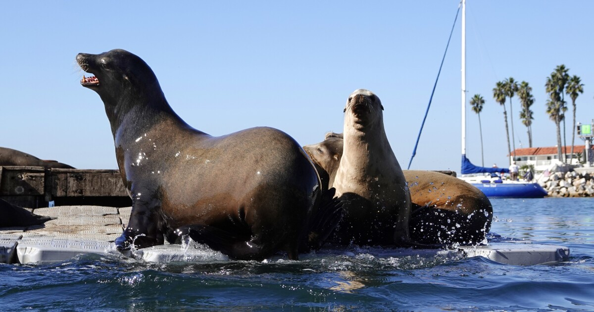 In Oceanside Harbor, the sea lions are winning