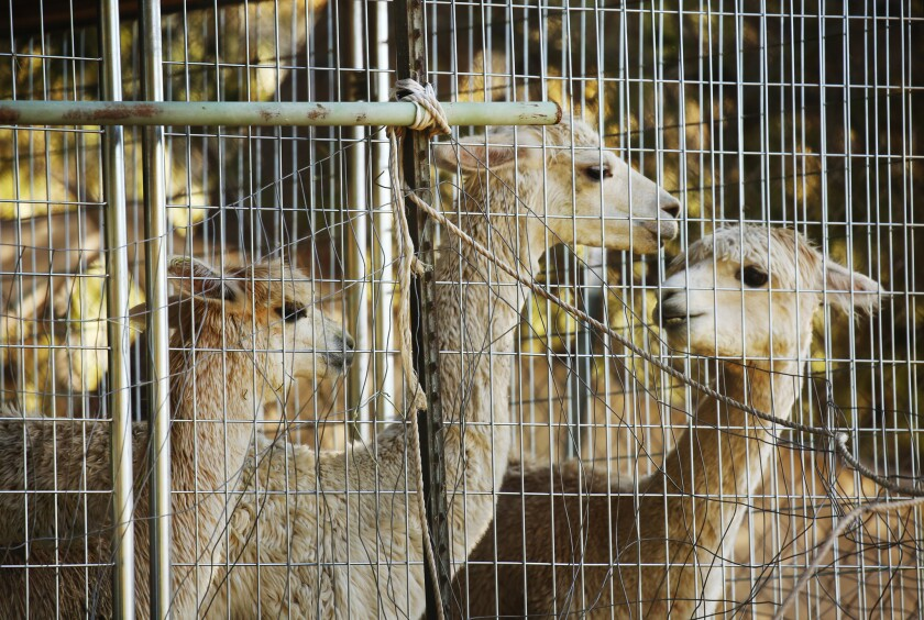 Alpacas are secured in a fenced area of a property along Mulholland Highway in Malibu, near where mountain lion P-45 is suspected of killing 11 alpacas in weekend attacks.