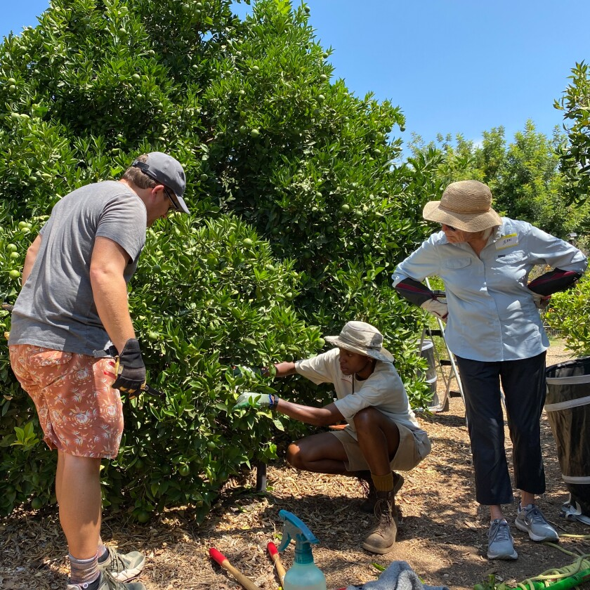People watch a citrus tree being pruned.