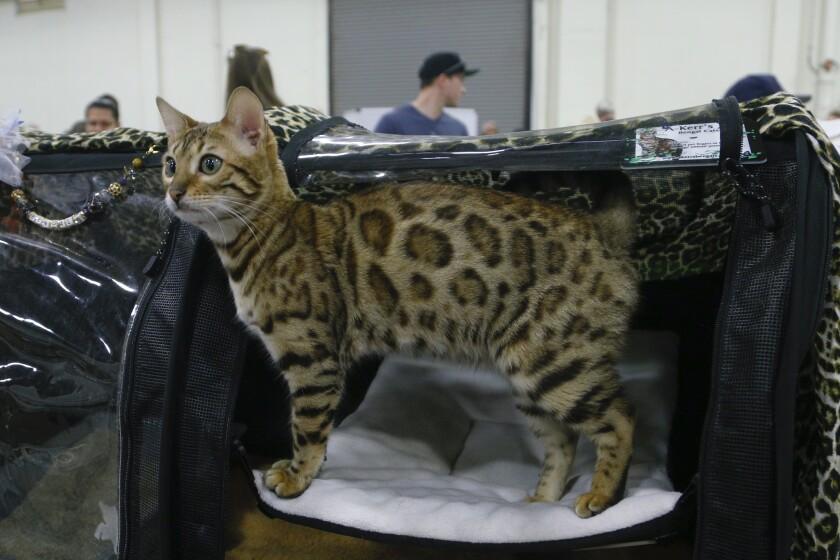 San Diego Cat Show