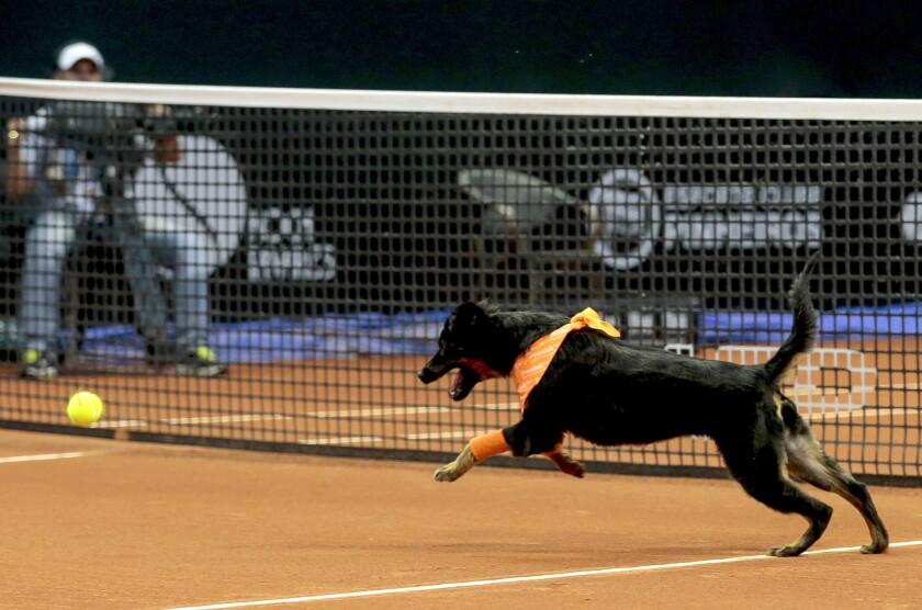 Un perro corre detrás de una pelota de tenis en el Abierto de Brasil de tenis, en Sao Paulo. (AP Photo/Leandro Martins)