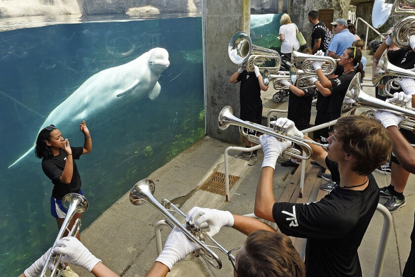 FILE — In this July 5, 2018, file photo, drum major Leslie Abreu, left, directs members of the brass ensemble for the 7th Regiment Drum and Bugle Corps as they play in front of the Alaska Coast exhibit and Juno, one of the Beluga whales at Mystic Aquarium, Mystic, Conn. Mystic Aquarium is preparing for the arrival of five Beluga whales from a zoo and amusement park in Canada after navigating approval processes on both sides of the U.S. border and overcoming legal challenges from environmental groups. (Sean D. Elliot/The Day via AP, File)