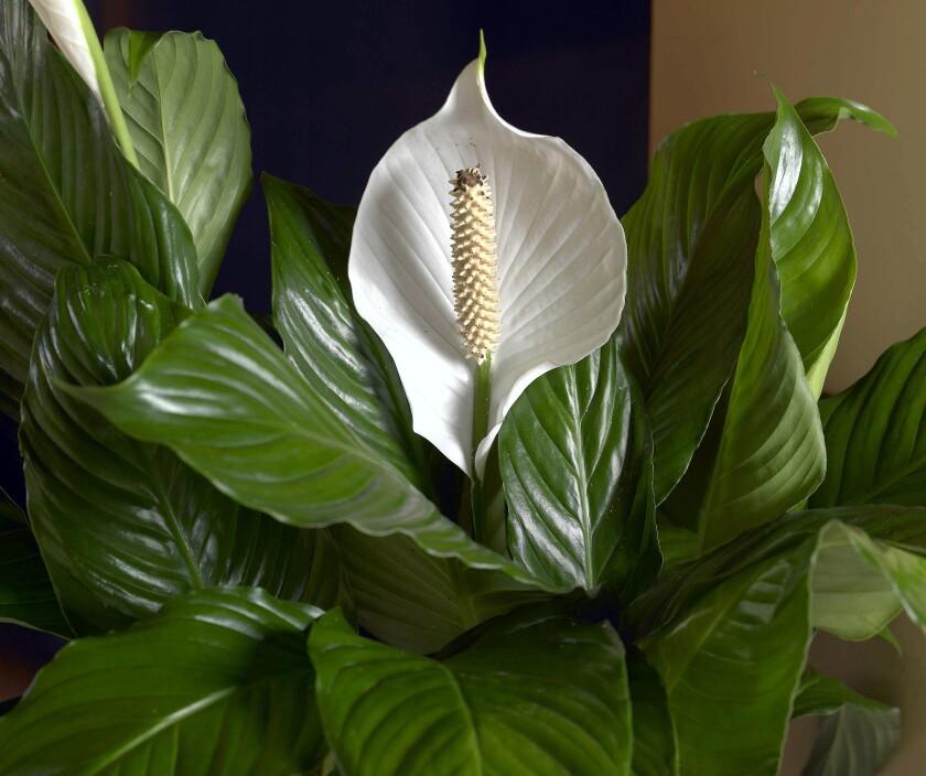 la-hm-low-maintenece-indoor-plants-14.JPG