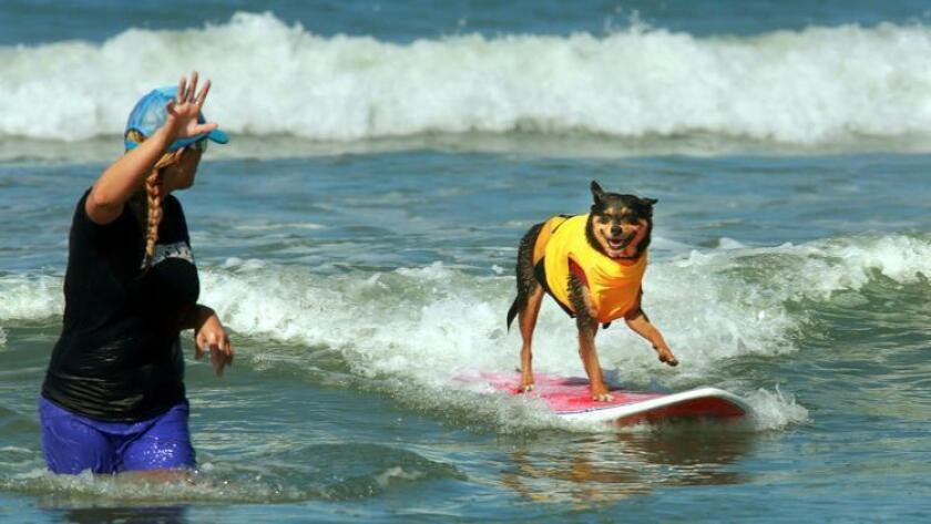 Abbie hangs fifteen as she rides a wave to shore in the medium sized dog competition, while volunteer Kim Gennick points the way for her and signals how many waves Abbie has ridden so far in the heat, for the judges on shore. (UT San Diego/Zuma Press / Photo by Peggy Peattie/UT San Diego/Copyright 2013 San Diego Union-Tribune, LLC)