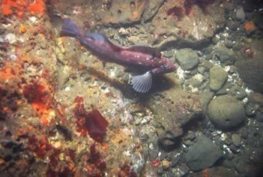 An 8-inch kelp greenling fish swimming above a seafloor of mixed gravel, cobble and rock with scattered shell. The image was acquired 1 kilometer off the shore of Half Moon Bay, California at a depth of 14 meters.