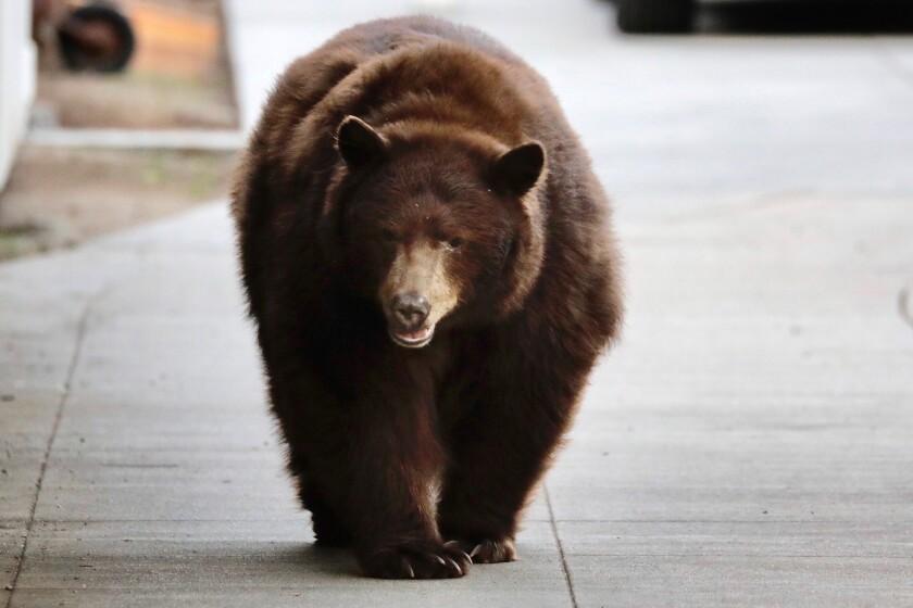 A bear walks along the sidewalk in Monrovia on Friday morning.