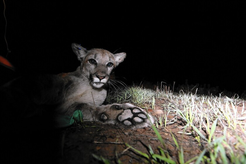 The mountain lion known as P-34, shown in 2014 after being collared by the National Park Service, died this year of exposure to rat poisons, a necropsy has found.