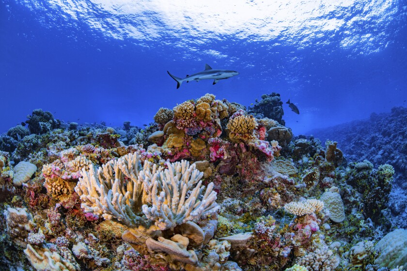 In this August 2018 photo provided by the Allen Coral Atlas, a shark swims on a reef in Ailinginae Atoll in the Marshall Islands. Researchers have completed a comprehensive online map of the world's coral reefs by using more than 2 million satellite images from across the globe. The Allen Coral Atlas was named after late Microsoft co-founder Paul Allen and will act as a reference for reef conservation, marine planning and coral science as researchers try to save these fragile ecosystems that are being lost to climate change. (Greg Asner/Allen Coral Atlas via AP)