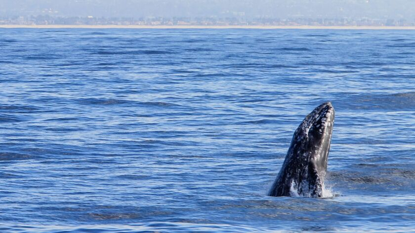 SAN DIEGO, CA January 25th, 2018   An Eastern Pacific gray whale, seen from aboard the Marietta, bre
