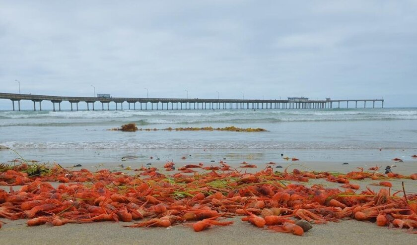 The tiny crustaceans also were found in large numbers at Ocean Beach.
