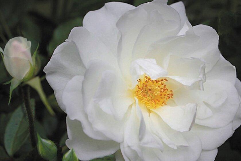 A bloom of the Floribunda Iceberg rose.