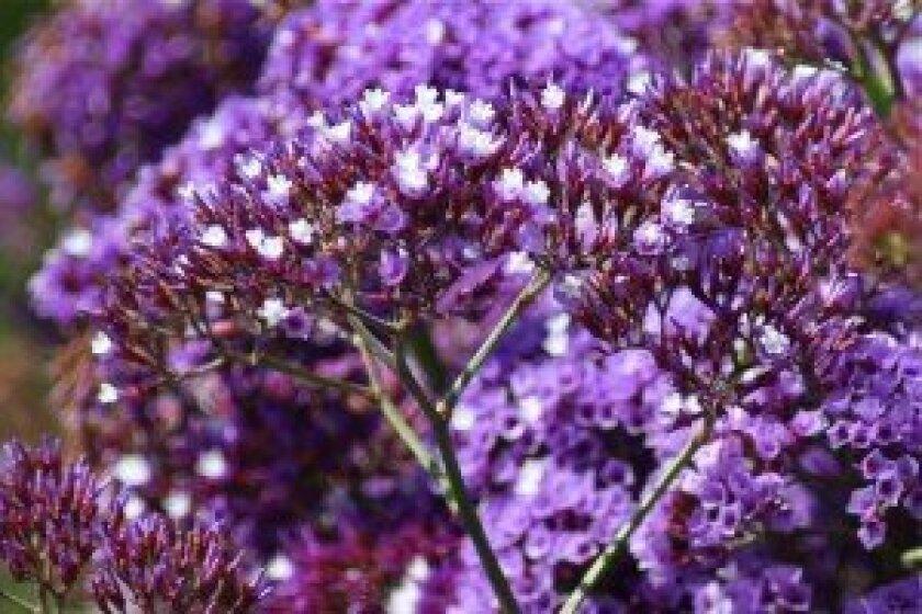 Statice (sea lavender) growing along La Jolla's coastal bluffs.