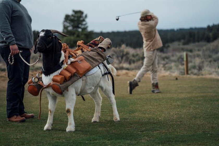 """Fotografía sin fecha cedida por Seamus Golf donde aparece un golfista junto a la cabra cadi """"Bruce LeGoat"""", en el campo de golf McVeigh's Gauntlet del rancho Silvies Valley, en Seneca, Oregón (EE.UU.). EFE/Seamus Golf"""