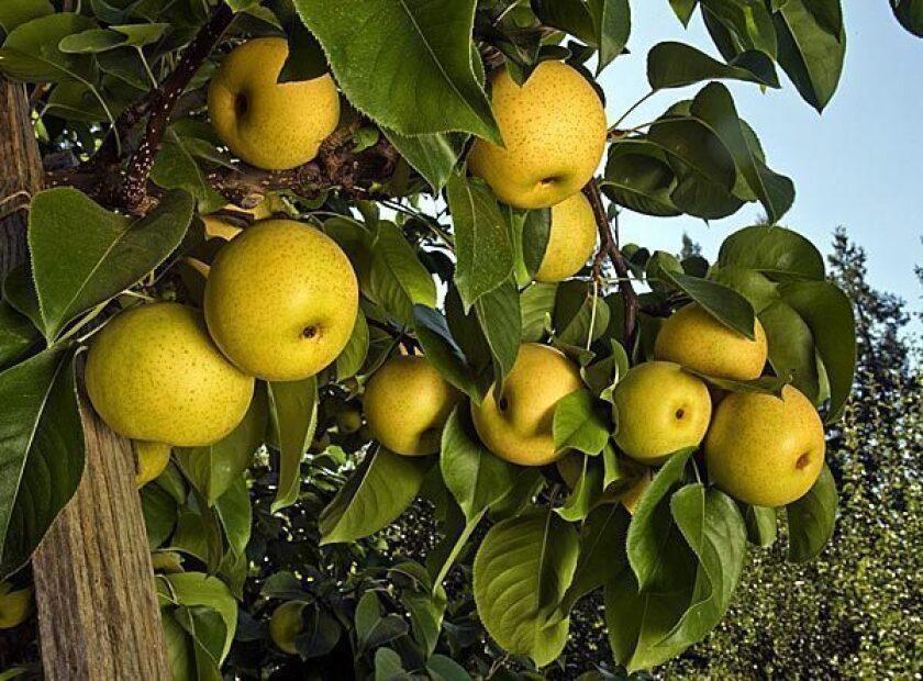 Market Fresh: Asian pears