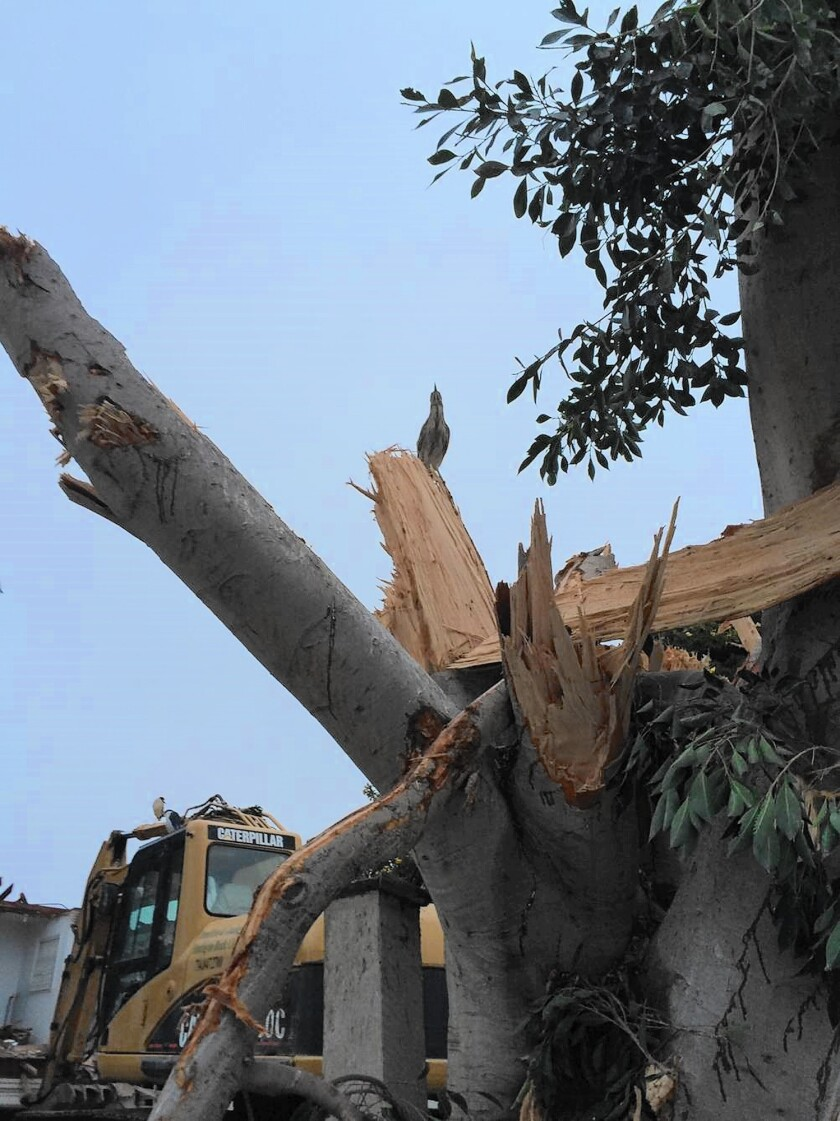 A bird sits among the remains of a tree in Newport Beach that officials believe was torn down in violation of bird protection laws.