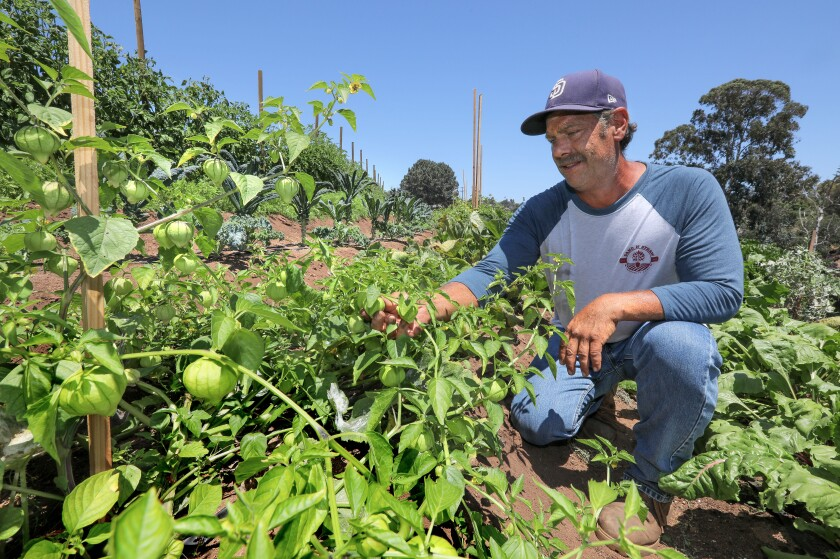 Rich Viles, who owns Sand n' Straw Community Farm with his wife April, gets a close look at tomatillos nearing harvest on the six-acre Vista property.
