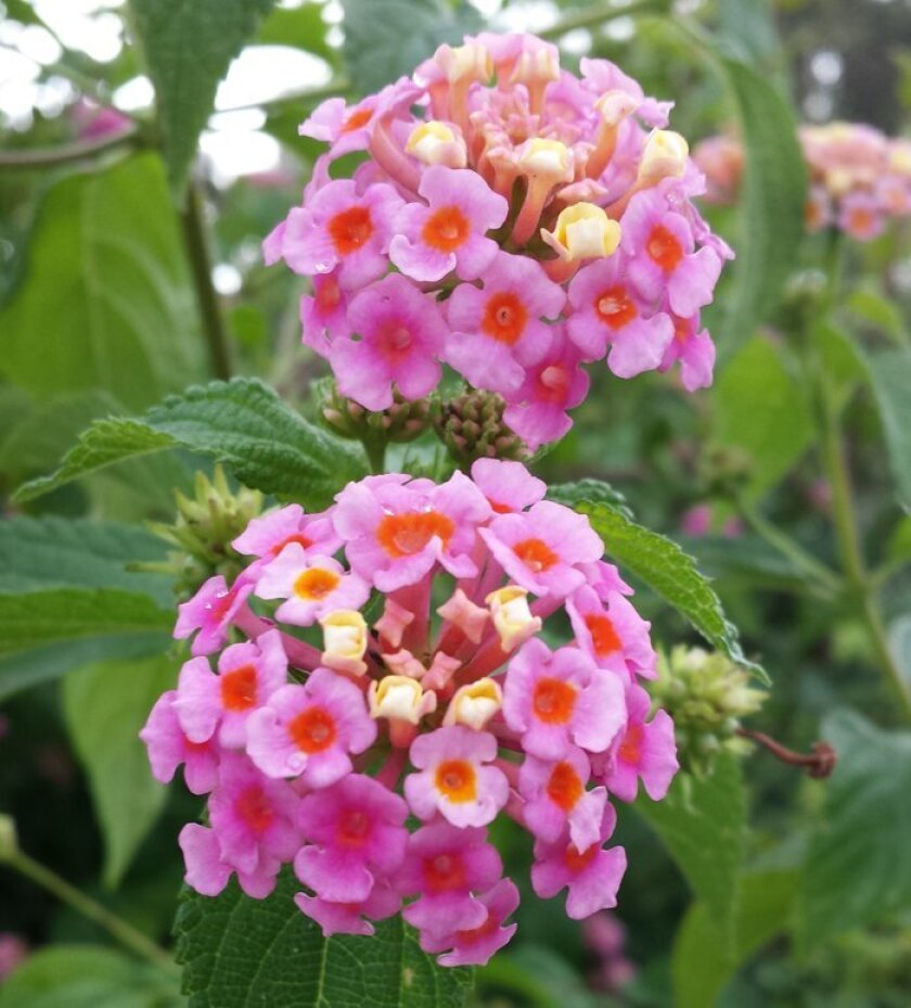 Delicate pink and red flowers cover this lantana.