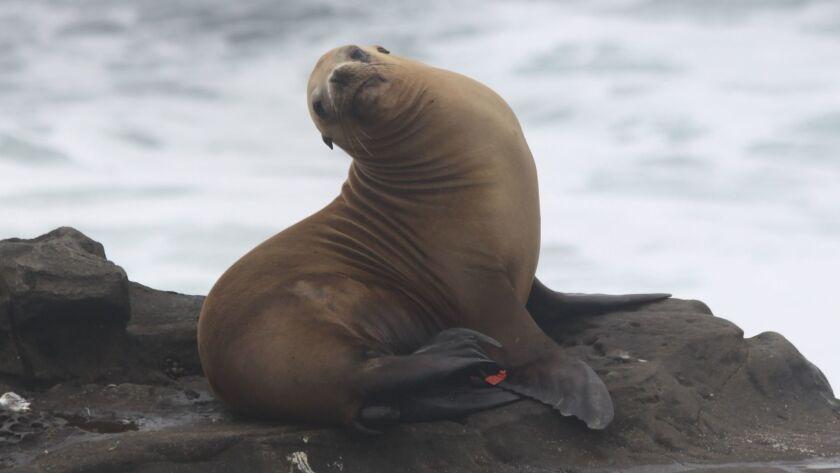 A sea lion near La Jolla Cove